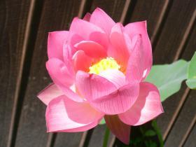 蓮の花(開花)